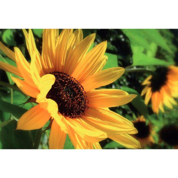 Motivkarte Sonnenblume
